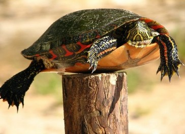 turtlefencepost